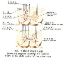 脊髓白质固有束示意图